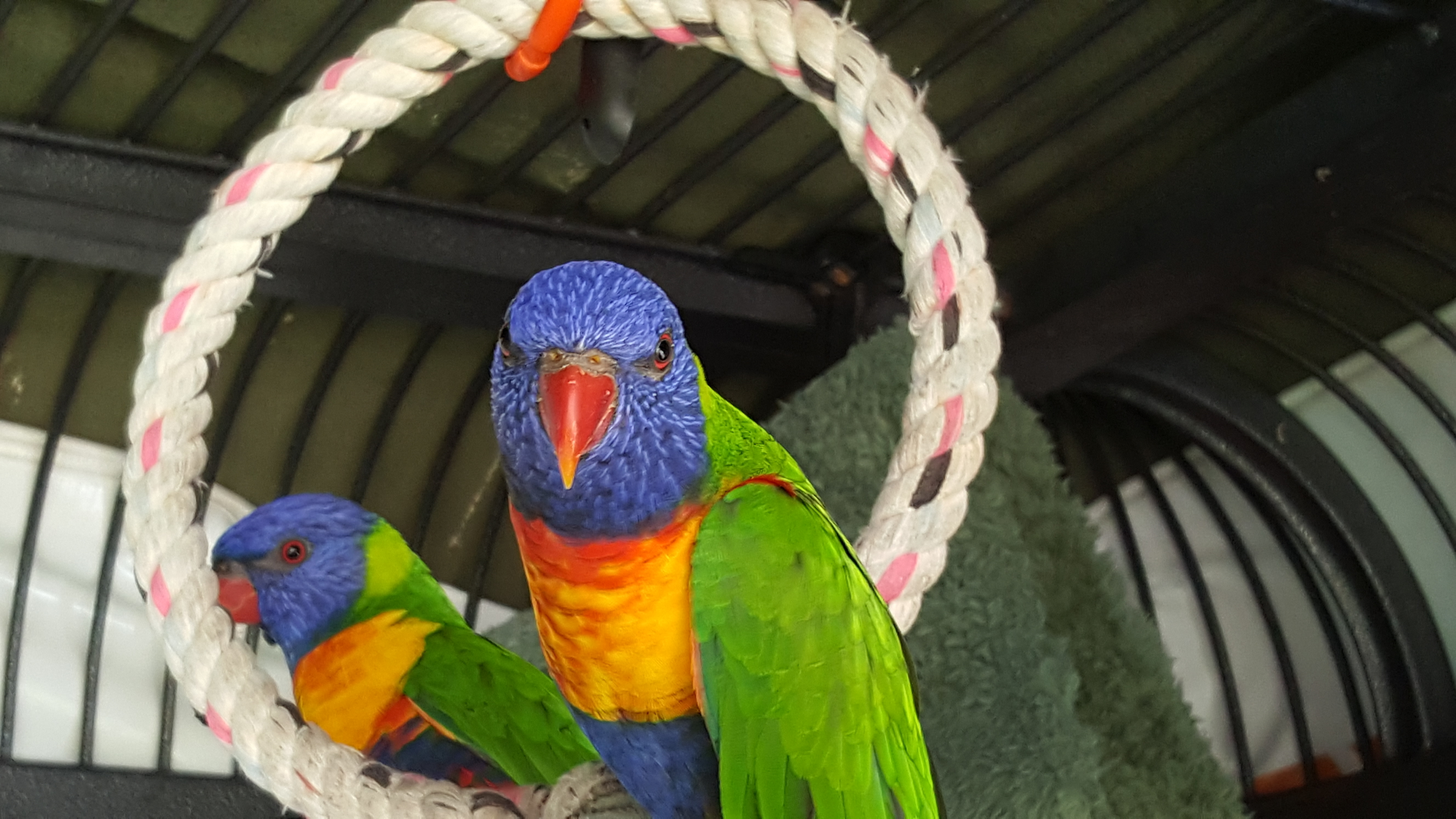 Adopt/Foster Companion Birds in Australia – 'Let Companion